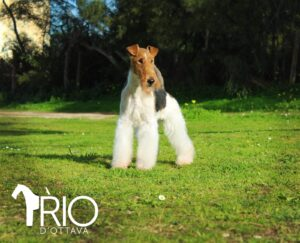 dna cani fox terrier